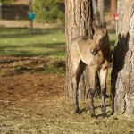 The Buckskin Filly 1:  Meet Mayday