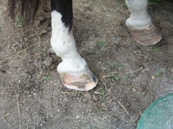 After excess wall was rasped off of right hind foot.