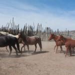 Catching Horses