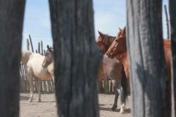 Horses in the Stockade Corrals, 2014