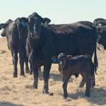 A Mad Mama Cow