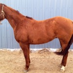 Featured Horse For Sale: CLS Famous Pumpkin-SOLD