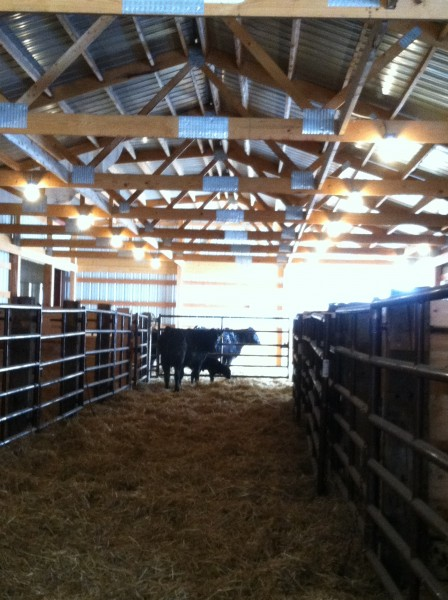 Inside the calving barn.