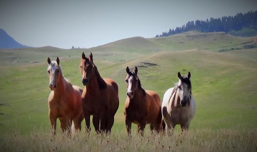 Kohr Quarter Horses: Fabulous Golden Charm