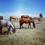 Thompson Cavvy Quarter Horses
