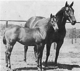 This photo is of Peppy Belle is either her as a foal or her as the mare. It is probably her as the mare due to her condition.
