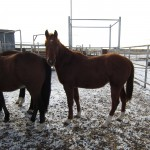 Weaning Colts Part 2: The Wilson Ranch
