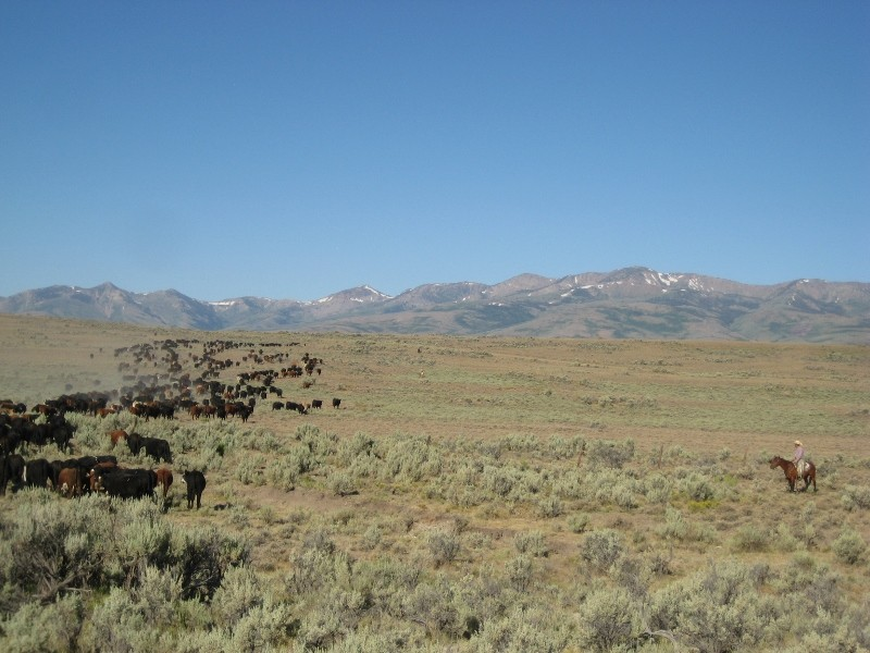 Nevada cattle