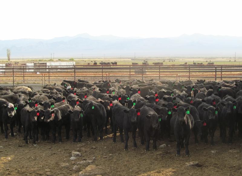 Weaner calves