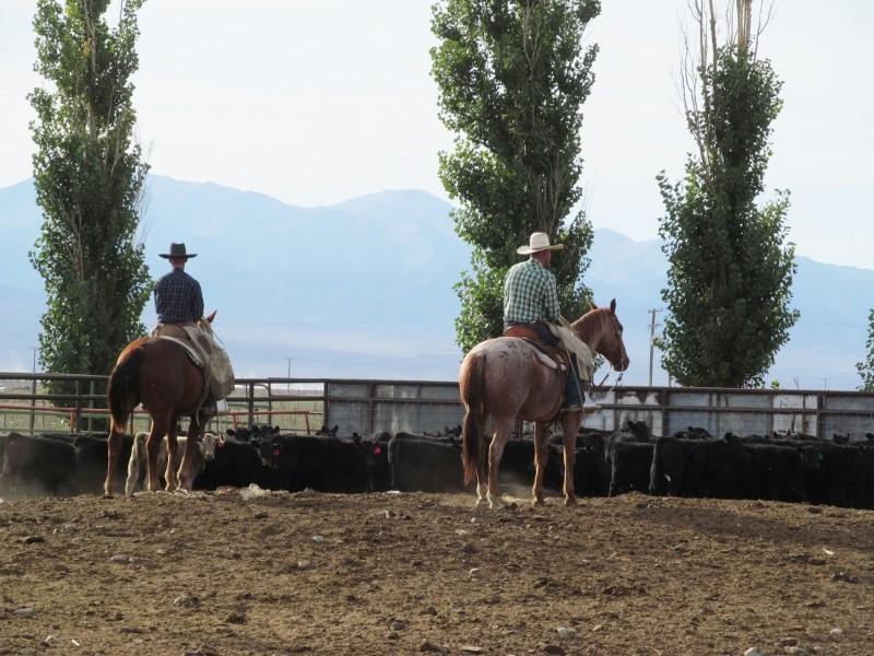 cowboys on horses