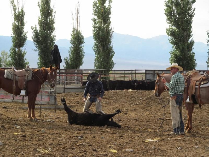 doctoring a calf