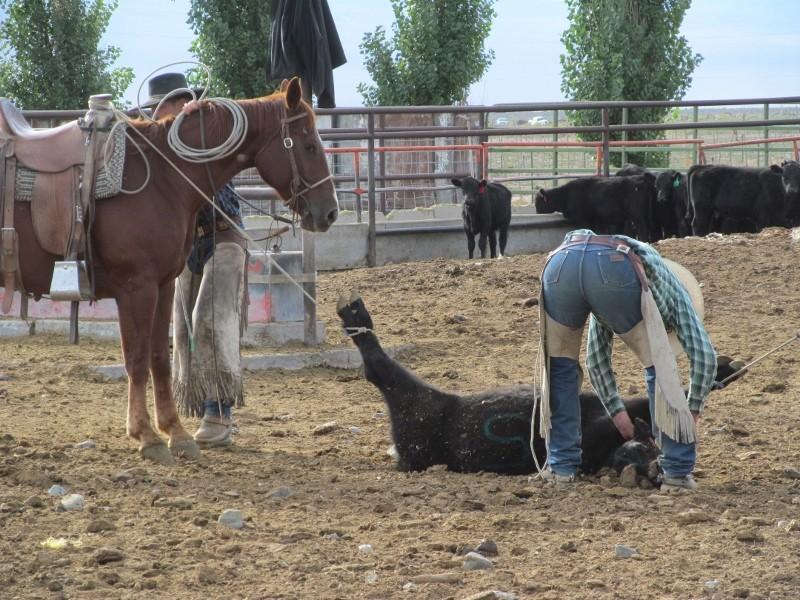 doctoring calves