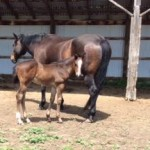 Weaning Colts Part 3; Wardell Quarter Horses