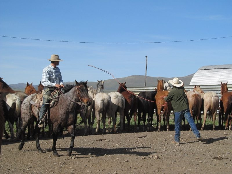 Roping horses, off the ropes