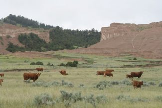 Our Heritage Guest Ranch: Artist Ride - cattle scenery