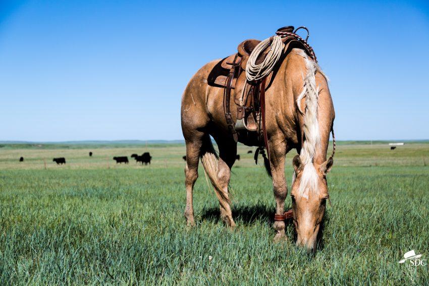 calf branding, hobbled horse, sunny day, ranching, ranch life, western