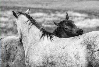 horsescratch, nip