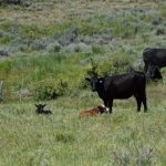 Cow Behavior
