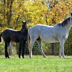 Featured Horse for Sale: 2016 AQHA Gray Mare