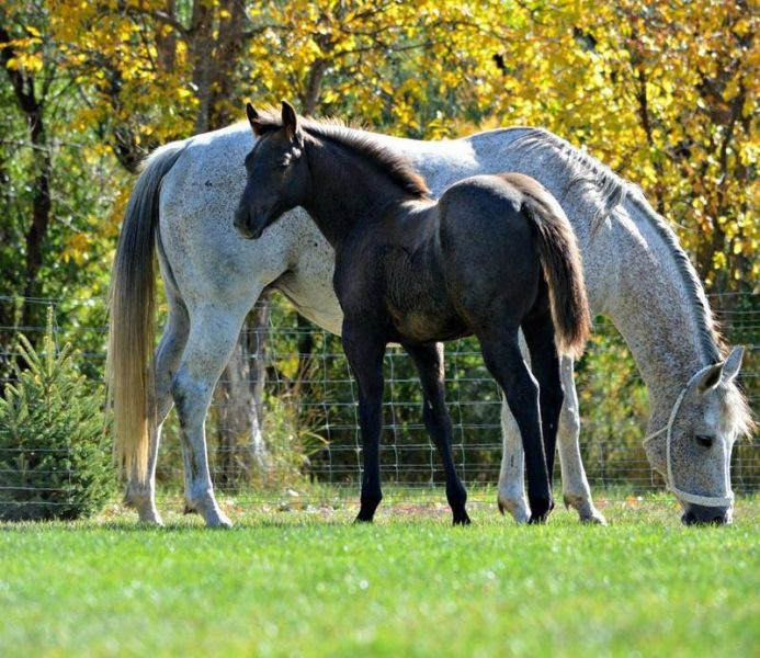 2016 Gray Mare horse for sale