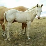 Featured Horse for Sale: Cremello Colt