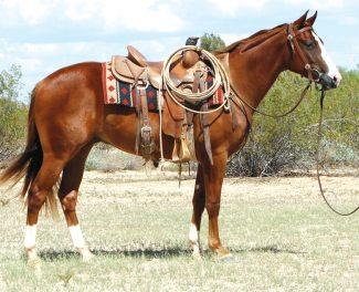 Santa Fe Rooster Lot 439