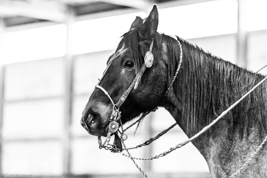 buckaroo roping, ranch roping, big loop roping, roping on the river, south dakota cowgirl photography, bridle horse