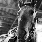 Desensitizing your spooky horse using a tarp
