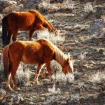 Wild horses on western lands face management crisis