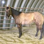 Featured Horse for Sale: 2008 Grulla Ranch Mare