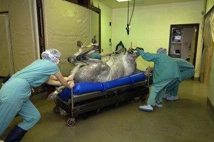 roaring disease surgery