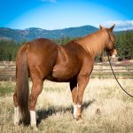 Featured Horse for Sale; Seasoned Barrel Horse
