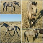 Featured Horse For Sale: Buckskin Colt