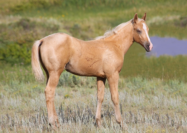 weaver quarter horses