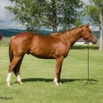 Featured Horse For Sale; Rock Solid Gelding