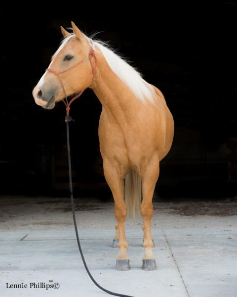 gelding for sale