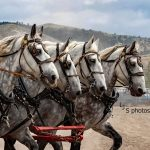 Powder River Percherons