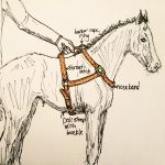 Body Haltering A Foal