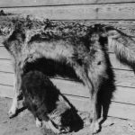 Predator Hunting History; Wolves