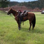 Featured Horse: AQHA Heel Horse