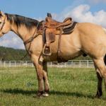 """Featured Horse: 2014 AQHA Gelding """"Festus"""""""