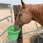 Benefits of Beet Pulp for Older Horses